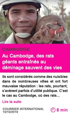 Societe au cambodge des rats geants entraines au deminage sauvent des vies