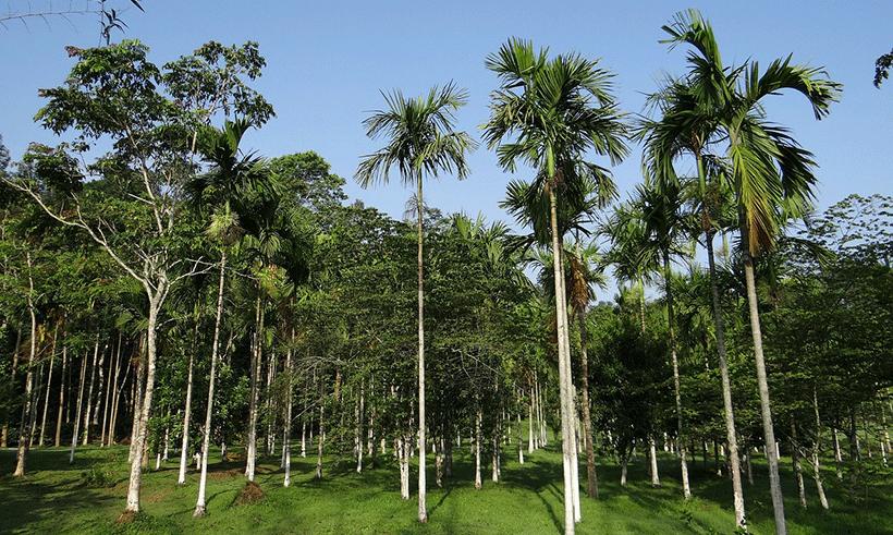 Sucre palme cambodge